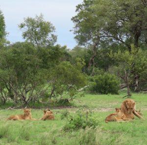 Lvi v přírodě