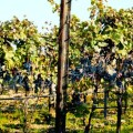 Burgenland vinice, Malý dobrodruh