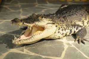 Krokodýli, Malý dobrodruh