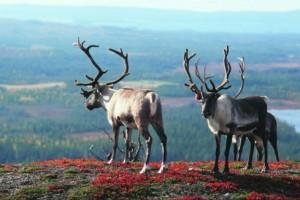 Laponsko, Malý dobrodruh