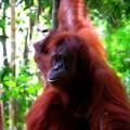 Orangutan, Malý dobrodruh