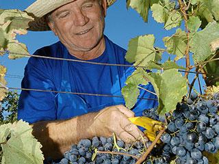 vinař, víno, svatomatinské, Slovácko