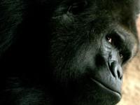 Gorilí samec Richard je chloubou ZOO Praha stejně jako gorilí chlapeček narozený na konci minulého roku - a další mládě se má narodit v nejbližších dnech. Foto: Jan Rybář, www.amaze.cz