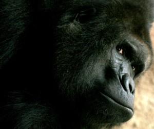 zoo praha, gorila Richard, Malý dobrodruh